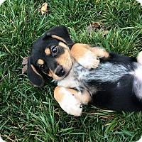 Adopt A Pet :: Clover - Arden, NC