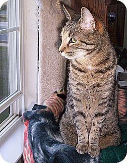 American Shorthair Cat for adoption in Pineville, North Carolina - Kobe