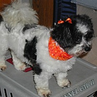 Shih Tzu/Yorkie, Yorkshire Terrier Mix Dog for adoption in Homer Glen, Illinois - Cricket