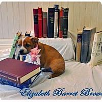 Adopt A Pet :: Elizabeth Barrett Browning - Austin, TX