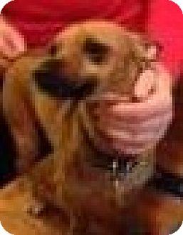 Dachshund/Chihuahua Mix Dog for adoption in Seattle, Washington - Peter