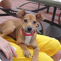 Adopt A Pet :: Acheron - Hanover, PA