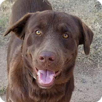 Labrador Retriever Dog for adoption in Phoenix, Arizona - Tucker