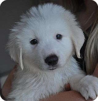Great Pyrenees Mix Puppy for adoption in Atlanta, Georgia - Lola