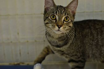 Domestic Shorthair Kitten for adoption in Beacon, New York - Tabby