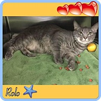 Domestic Shorthair Cat for adoption in Harrisburg, North Carolina - Rolo