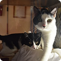 Domestic Shorthair Kitten for adoption in Bay Shore, New York - Nicole