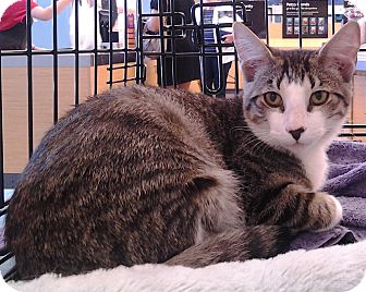 Domestic Shorthair Cat for adoption in Richmond, Virginia - Brontes