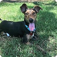 Whippet Mix Dog for adoption in San Juan Capistrano, California - Ellie