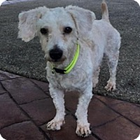 Poodle (Miniature)/Dachshund Mix Dog for adoption in Union Grove, Wisconsin - Frankie
