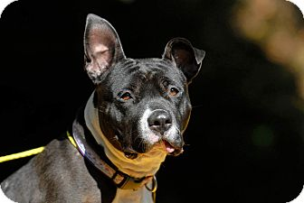 Pit Bull Terrier Mix Dog for adoption in Pottsville, Pennsylvania - Chuckles