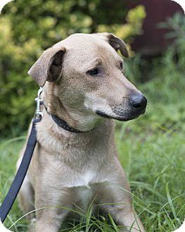 Labrador Retriever Mix Dog for adoption in Middletown, Delaware - Attis