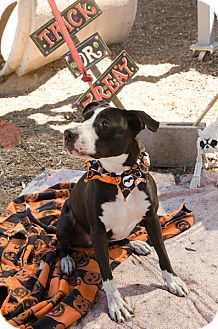 Pit Bull Terrier Mix Dog for adoption in Phoenix, Arizona - MAGGIE