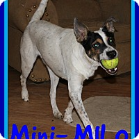 Rat Terrier/Terrier (Unknown Type, Medium) Mix Dog for adoption in Mount Royal, Quebec - MILO