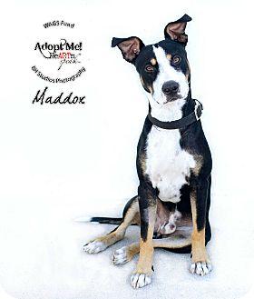 Akita/Labrador Retriever Mix Dog for adoption in Houston, Texas - Maddox