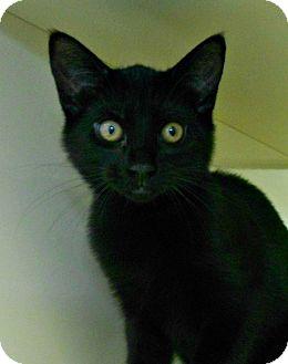 Domestic Shorthair Kitten for adoption in Chesapeake, Virginia - Squirt
