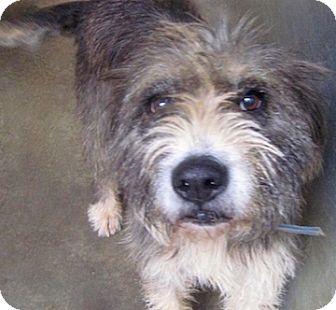 Bearded Collie Mix Dog for adoption in Tahlequah, Oklahoma - Gigi