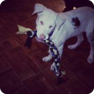 Australian Shepherd/Doberman Pinscher Mix Puppy for adoption in Reno, Nevada - Lassie