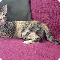 Adopt A Pet :: Ms. Purrsnickitty - Hawk Point, MO