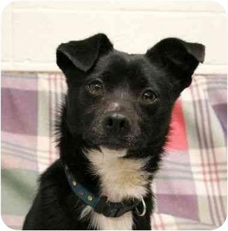 Schipperke/Chihuahua Mix Dog for adoption in Phoenix, Oregon - Skipper