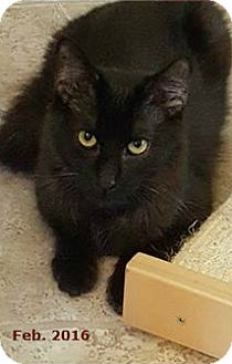 Maine Coon Cat for adoption in Encino, California - Richie