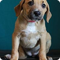 Adopt A Pet :: Darcy - Waldorf, MD