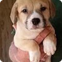 Adopt A Pet :: Cornbread - Gainesville, FL