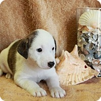 Adopt A Pet :: Siesta Key - Spring Valley, NY