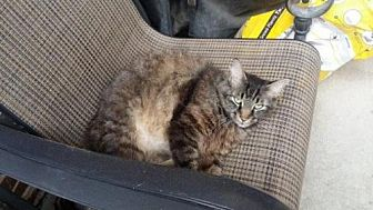 Maine Coon Cat for adoption in Frisco, Texas - Toby