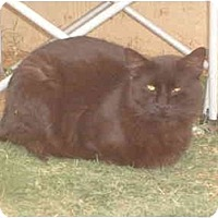 Adopt A Pet :: Psycho - Anton, TX