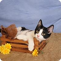 Adopt A Pet :: Checkers - mishawaka, IN