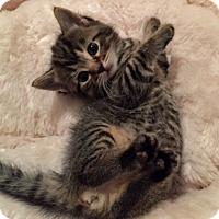 Adopt A Pet :: Ringo - Troy, MI