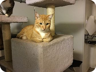 Domestic Shorthair Cat for adoption in Medford, New York - Thomas