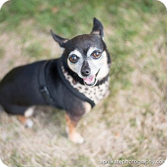 Chihuahua Mix Dog for adoption in East Hartford, Connecticut - Missy