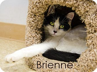 American Shorthair Cat for adoption in Hamilton, Montana - Brienne