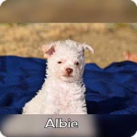 Terrier (Unknown Type, Small) Mix Puppy for adoption in Rosamond, California - Albie