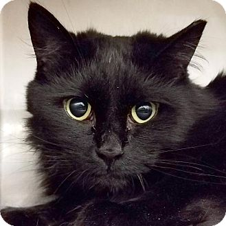 Domestic Longhair Cat for adoption in New York, New York - Baby
