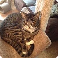 Adopt A Pet :: Cheyenne - Fenton, MO