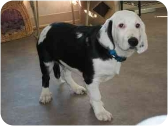 Banjo | Adopted Puppy | Rock Springs, WY | Basset Hound ...