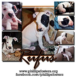 American Bulldog/Pit Bull Terrier Mix Puppy for adoption in Colleyville, Texas - Rufus