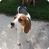 Adopt A Pet :: Smores - Knoxville, TN