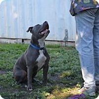 Adopt A Pet :: Rocco, amazing family member - Sacramento, CA