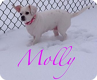 Beagle/Chihuahua Mix Dog for adoption in Lincolnwood, Illinois - Molly