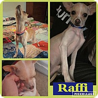 Chihuahua Dog for adoption in chicago, Illinois - Raffi