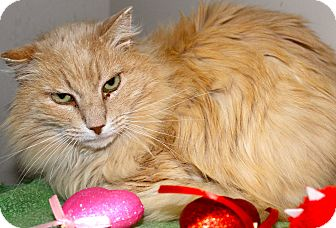 Domestic Longhair Cat for adoption in Buffalo, Wyoming - FlooFee
