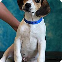 Adopt A Pet :: Walter - Waldorf, MD