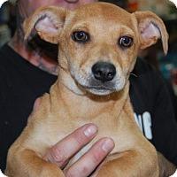 Adopt A Pet :: Haven - Brooklyn, NY