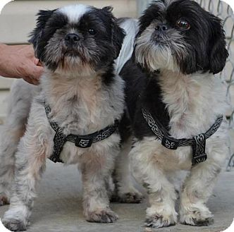 Shih Tzu Mix Dog for adoption in Kansas City, Missouri - Rascal