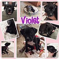Adopt A Pet :: Violet - Rosamond, CA