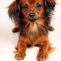 Adopt A Pet :: Leon Dashmix - St. Louis, MO